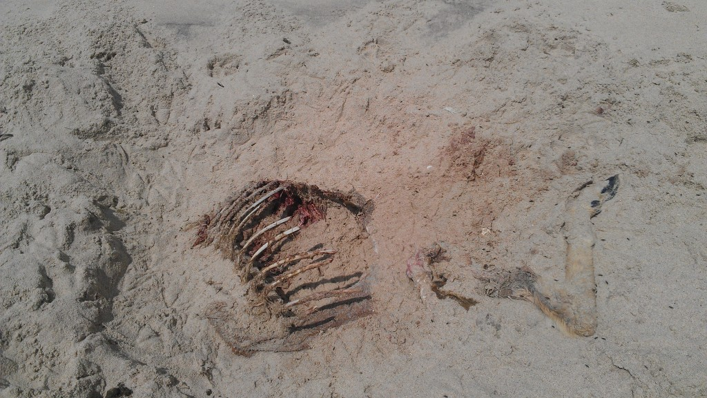 Deer carcass at the beach