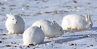 Arctic Hare Babies