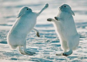 arctic-hares-fighting