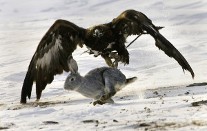 A tame golden eagle swoops down on a hare during a traditional hunting contest near the town of Karkaralinsk