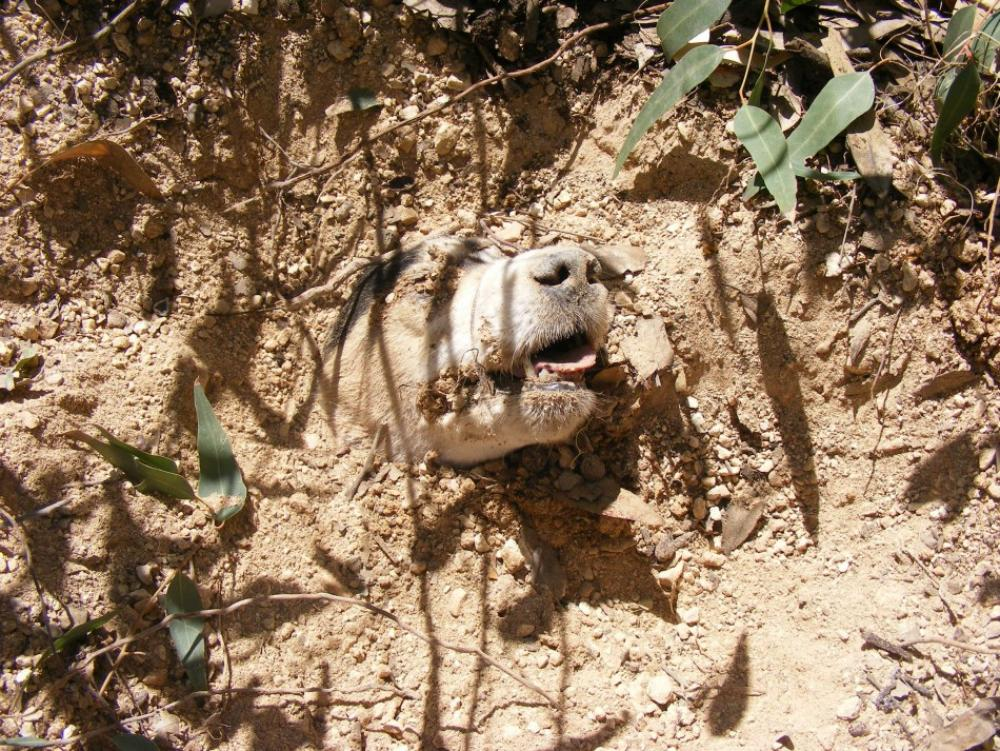 109844-dog-buried-alive-found-by-animal-welfare-officers-in-a-field-near-birz
