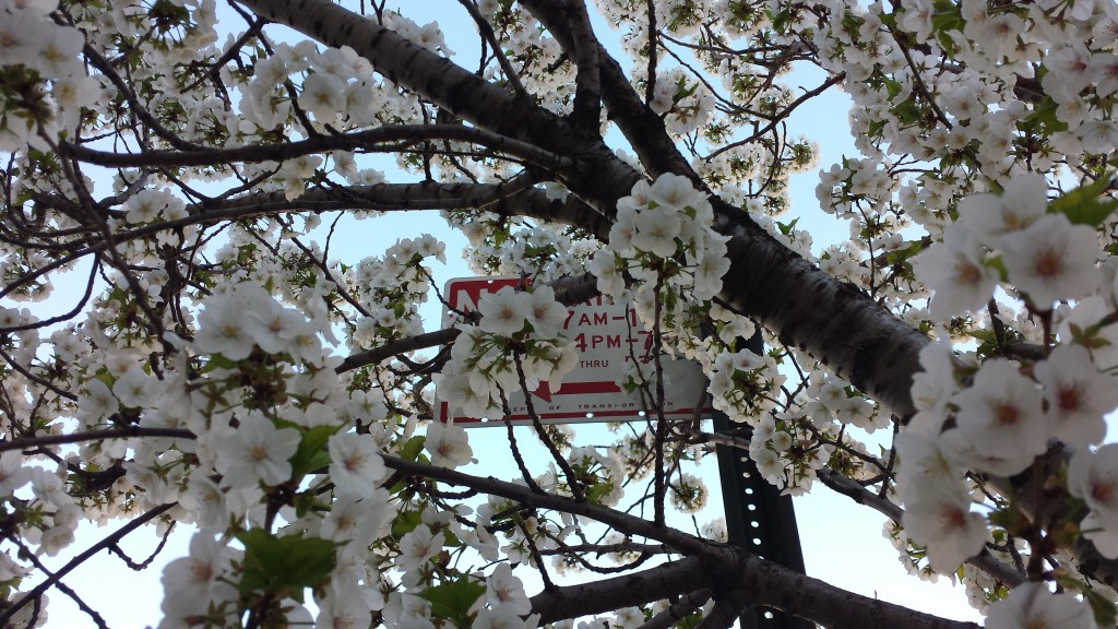 A Tree Blooms in Queens...Manhattan too
